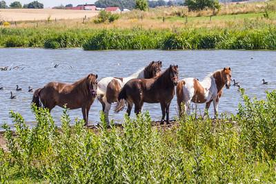 Horses - Heste