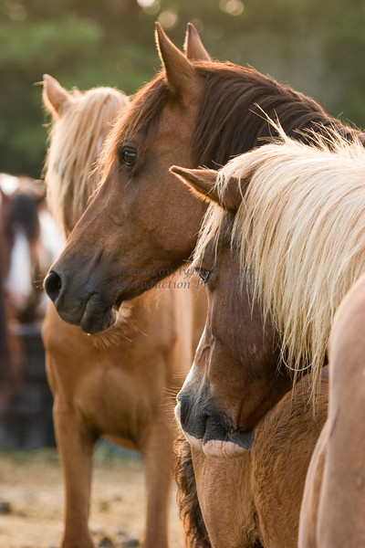 Chincoteague ponies at dawn, blue eye and chestnut