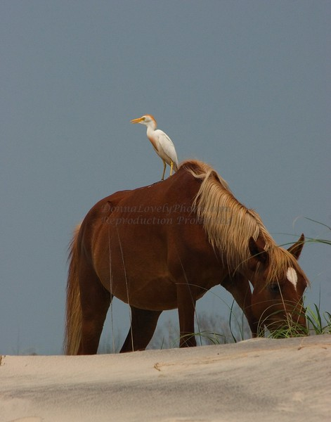 Outer Banks, NC Wild Horse & Egret