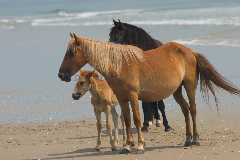 Outer Banks, NC Horse Family by the Sea