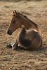 Chincoteague bay foal lying down before pony swim