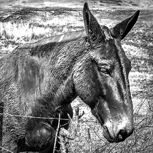 mule ms  bw -2