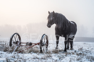 Horses in fog and hoarfrost