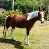 horsesofwedgfield-0680