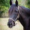 horsesofwedgfield-1008