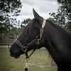 horsesofwedgfield-0995