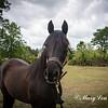 horsesofwedgfield-0977