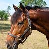 horsesofwedgfield-1090