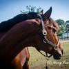 horsesofwedgfield-1057