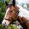 horsesofwedgfield-0745