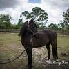 horsesofwedgfield-0998