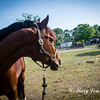 horsesofwedgfield-1058