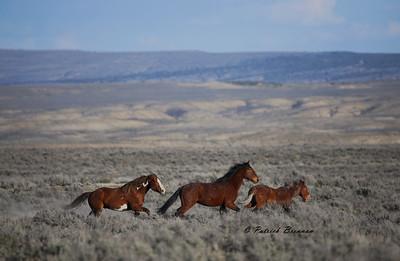 """Stallion """"Flash"""" running Bachelor Stallion's Mike and Doc across the SWB Range."""