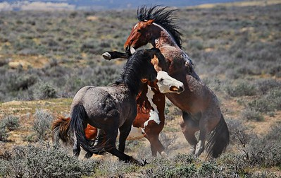 "Battle of the stallion at Sand Wash Basin. Two Bachelor stallions try to take on well established Band Stallion ""Tashubka."" Better luck Next Time Guys!!!"