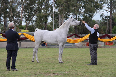 Al-Daniifahh - 2016 Reserve (Silver) Champion mare at Queensland State Championships.