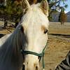 ~Cowboy~ Gelding, Registered Tennessee Walker, 2011 For Sale
