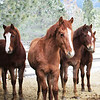 ~Robin~filly for sale ~Cinnamon~sold ~Zip~Gelding for sale ~Little Debbie~filly for sale Morgan/Haflingers, 2012