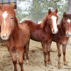 ~Blossom~sold ~Robin~filly for sale ~Zip~ Gelding for sale, Morgan/Haflingers, 2012