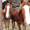 ~Little Debbie~ ~Robin~ Fillys, Morgan/Haflinger, 2012 Both for sale