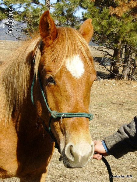 ~Cassie~ Mare, Morgan/Haflinger, 2011 For Sale