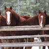 ~Little Debbie~For sale ~Robin~for sale ~Sleepytime~sold Fillys, Morgan/Haflingers, 2012