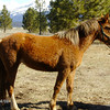 ~Chili~ Mare, Morgan/Haflinger, 2011 For Sale