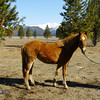 ~Cassie~ Mare, Morgan/Haflinger, 2011 <br /> a Gentle ride.