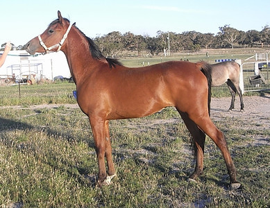 As a 2yr old at his breeder's place, shortly before coming to Zuhra Arabians. Bred by Rowena Atkinson (ACT).