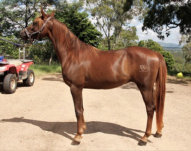 Fullmonti (3yo Gelding FOR SALE)
