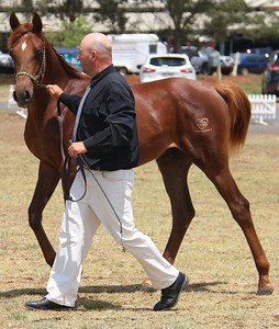 Fullmonti - yearling gelding at Top of the Range Show in October 2015. Prepped & shown by breeder County Downs Arabians.