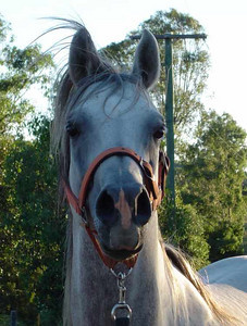As a young stallion (2004)
