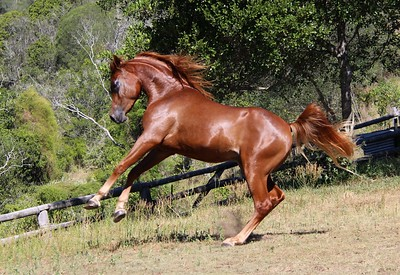Zuhra Zhadaan (SE colt FOR SALE)
