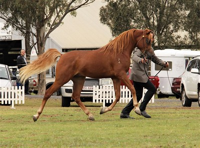 Zhadaan at 24 months at TOTR 2016 show (October 2016) - Reserve Champion SE Colt/Stallion