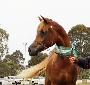 Reserve Champion SE colt/stallion, October 2016