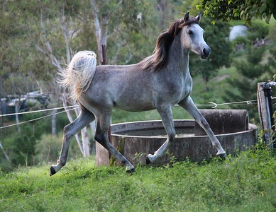 Zuhra Zhajaan (2yr old SE colt FOR SALE)