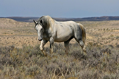 Wild Mustang Stallion Willie Nelson awersome wild horse at Sand Wash Basin