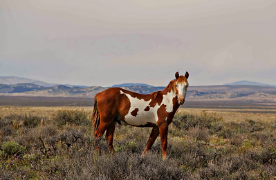 Ranger,  a Young wild Bachellor Mustang Stallion at Sand Wash Basin