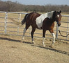 Gabar Sharif (Gabby). 4-year old Registered Arabian gelding. Parelli Level 1, December 2007.