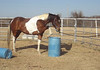 "Gabar Sharif-4 year old registered Arabian gelding.<br /> Playing at Parelli Level 1, December 2007. LBE. ""Offering"" to put hoof on top of barrel."