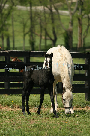 Mares and Foals in KY Spring 2009