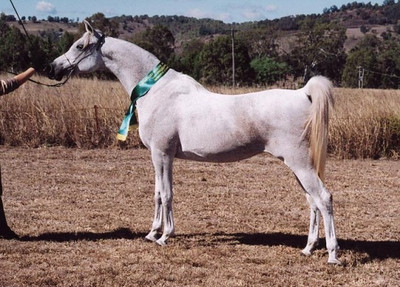Mashuga, shown by Liz - Reserve Champion mare.