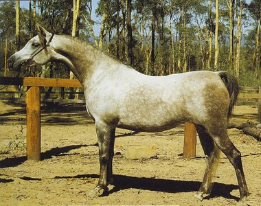 MASHUGA (Ra'adin Royal Star* x Maaza) as a young mare. Photo credit: Tanya Hawley (breeder)