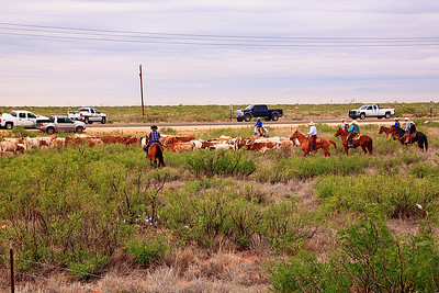 Preparing to move the 86 longhorn cattle onto the road for the first day of the cattle drive. this day we moved down the shoulder of the highway to Carlsbad.