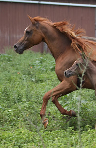 """Naavena (by Naavah) - leased from Aulda Arabians. Dam of the filly """"Zuhra Zhivaana"""" (at foot here)."""