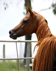 """Naavena (by Naavah) - leased from Aulda Arabians. Dam of the filly """"Zuhra Zhivaana"""""""