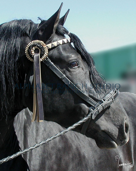 Bandido, Andalusian Stallion  (PRE - Pura Raza Espanola) at Expo 2004