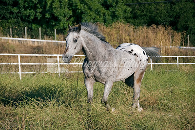 Senior Appaloosa gelding running in turnout