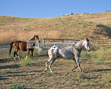 Senior Horses playing in turnout
