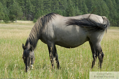 Sorraia & Spanish Mustangs - August/September, 2008