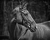 20160515-LVPC Horse-0150BW